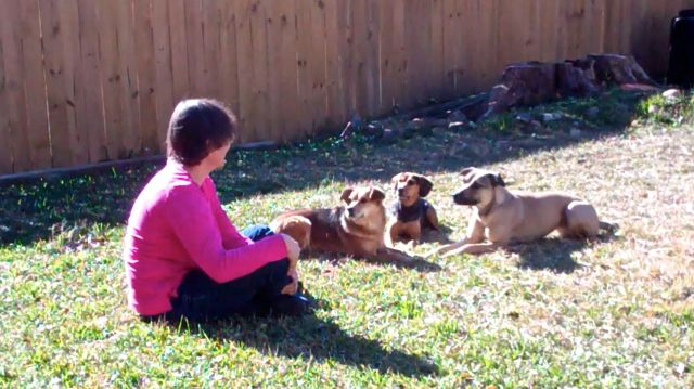 A woman with her back partially to the camera is sitting on a lawn. There is a wooden fence in the background. Three dogs are lying down nearby, all looking into her eyes.