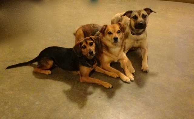 Three dogs lying very close together, all with their eyes riveted on the person taking the picture