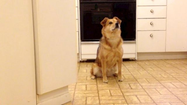 A sable colored dog sitting by herself in a kitchen. Her body language is relaxed, her eyes are soft, and she is looking toward someone off camera.