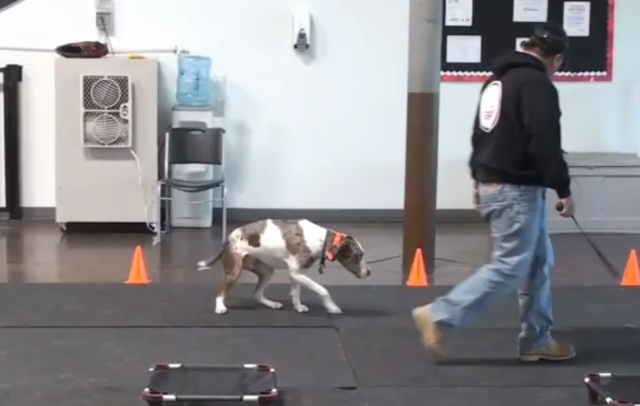 Catahoula Sonny during his first shock collar session