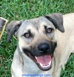 """A tan dog with a black muzzle is shown facing forward. She is making eye contact with the photographer. Her eyes are """"soft."""" Her mouth is open in a relaxed manner. Her tongue is inside her mouth. She is """"smiling."""" She is indeed relaxed."""
