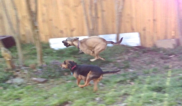 A tan dog and a smaller, black and rust dog play chase. The tan dog has a black ball in her mouth.