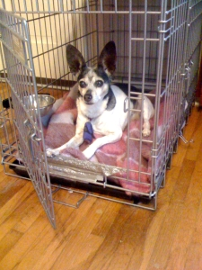 Small black and white rat terrier with very big ears is lying down inside a wire crate with the door open.