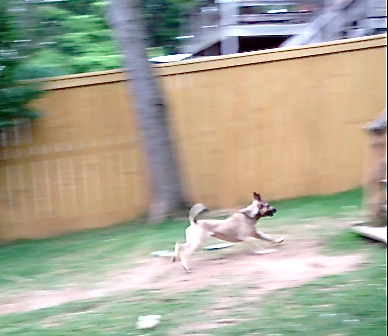 A tan dog with a black muzzle and black tail is running very fast