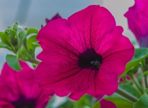 Closeup of pink petunias--soft, bright pink flowers dark centers and large petals