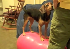 Small black and rust colored hound is standing on top of a red exercise ball (peanut shaped).