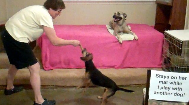 A tan dog with black muzzle lies down on a white mat on a bed with a pink bed spread. She is relaxed, and her mouth is open. A woman plays tug with a smaller, black and tan dog right in front of the tan dog.