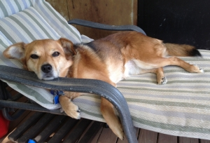 A sable dog is reclining on a chaise lounge. Her head is propped on the arm rest and her eyes are sleepy.