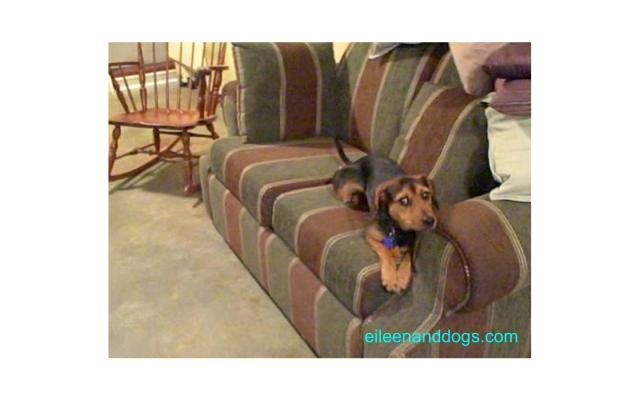 A small black and tan/rust dog is crouched on a green and brown couch. She is leaning away from something (not visible) to her right and looking back in that direction. You can see the whites of her eyes. She looks scared.