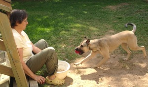 A tan dog with black muzzle and a red ball in her mouth is rushing toward a woman sitting down with a white plastic bowl in front of her. The woman is holding a similar red ball in her right hand, completely covered, and out of sight of the dog.