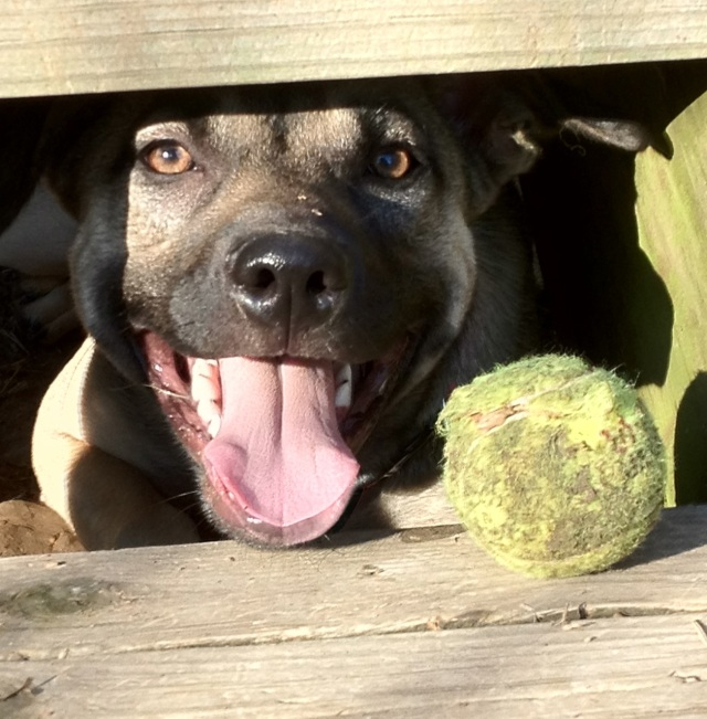 A tan dog with black muzzle is looking out from between two wooden steps. Her mouth is open and she looks very happy. Next to her on the step is a beaten up yellow tennis ball.
