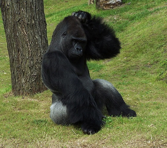 Gorilla sitting on ground next to a tree. He is scratching his head with his left hand.