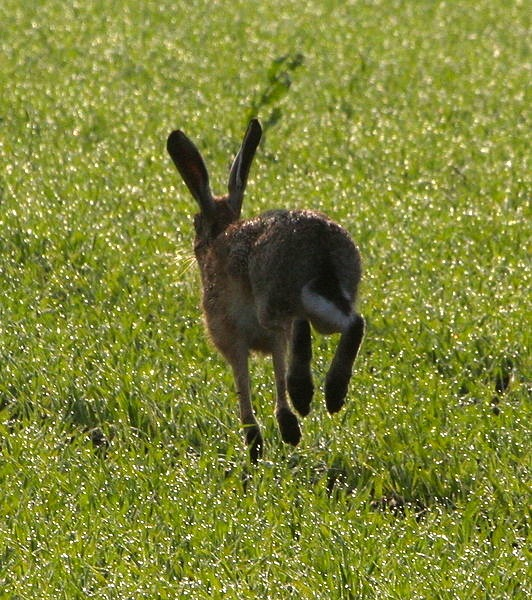 Hares escape a lot (if they are lucky)