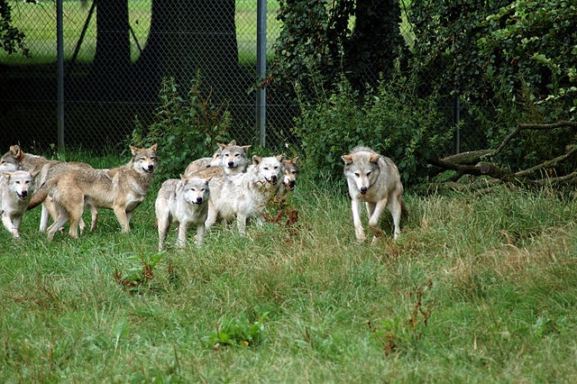"""Observations of captive wolves in unnatural groupings led to """"pack theory"""""""