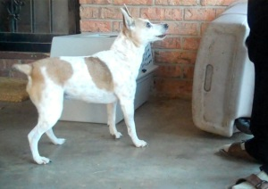 Brown and white rat terrier backing up