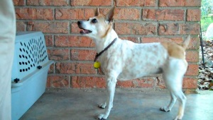 A brown and white rat terrier is looking eagerly up at her human
