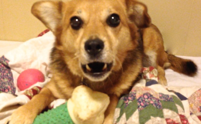 A brown, black, sable dog is holding a toy bone, staring straight ahead at the person taking the picture with wide eyes and her mouth open showing teeth. Resource guarding.
