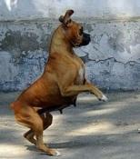 Startled boxer