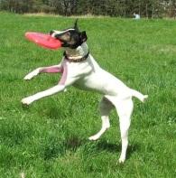 Terrier w Frisbee