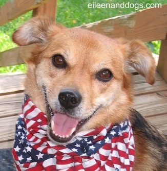 A honey-colored dog is looking forward at the photographer. She is wearing an American flag scarf. Her ears are relaxed, her mouth is open and relaxed, and her eyes are oval and soft. She is relaxed.